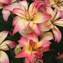 Lily 'Delicate Joy'