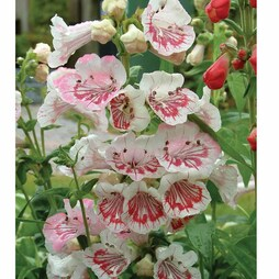 Penstemon 'Strawberries & Cream'