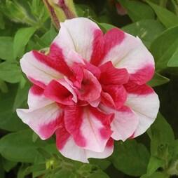 Petunia 'Frills & Spills™ Cherry Ripple'