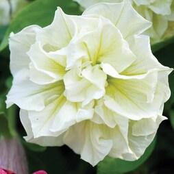 Petunia 'Susanna'