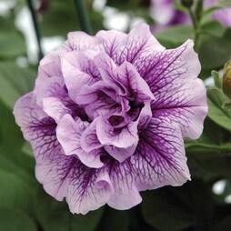 Petunia 'Priscilla'