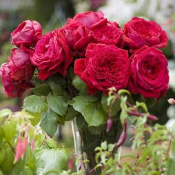 Rose 'The One and Only' (Hybrid Tea Rose)