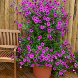 Petunia hybrida 'Purple Tower' F1 hybrid