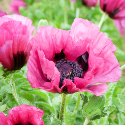 Poppy 'Plum Pudding'