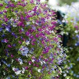 Lobelia erinus 'Cascade Mixed'