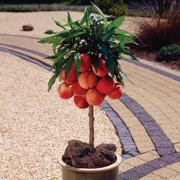 Peach 'Pix Zee'