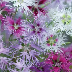 Dianthus 'Rainbow Loveliness Improved Mixed'