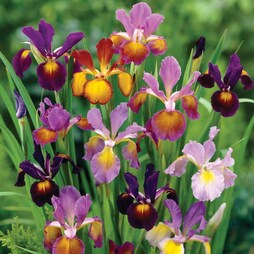 Iris 'Metallic Mixture'