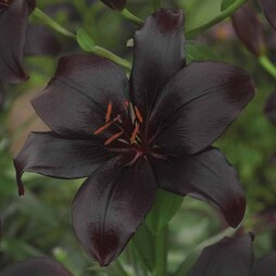 Lily 'Black Charm'