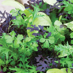 Salad Leaves 'Bright and Spicy'