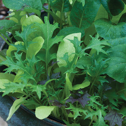Salad Leaves 'Colourfully Mild Mix' - Kew Collection Seeds