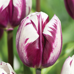 Tulip 'Blueberry Ripple'