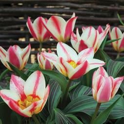 Tulip 'St. George'