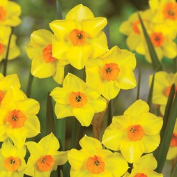 Narcissus 'Martinette'