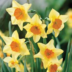Narcissus 'Suzy'