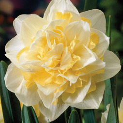 Narcissus 'White Lion'