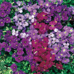 Aubrieta 'Royal Mixed'