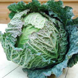 Cabbage 'Tundra' F1 Hybrid (Winter Savoy)