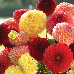 Dahlia variabilis 'Pompone Mixed'