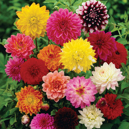 Dahlia variabilis 'Giant Hybrids Mixed'
