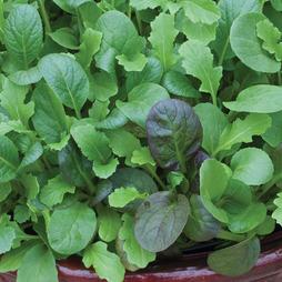 Salad Leaves 'The Good Life Mix'