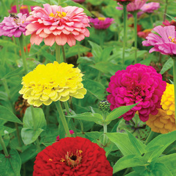 Zinnia elegans 'Giant Double Mixed'
