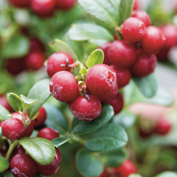 Lingonberry 'Ida'