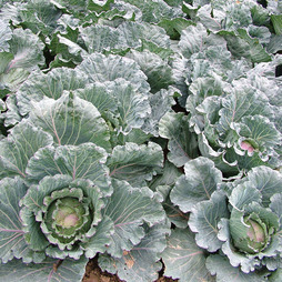 Cabbage 'Noelle' F1 Hybrid (Winter)