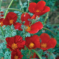 Californian Poppy 'Red Chief'