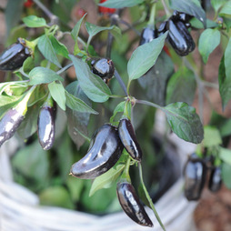 Chilli Pepper 'Pot Black'