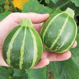 Courgette 'Eclipse' F1 Hybrid