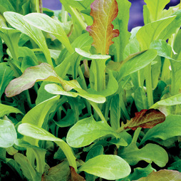 Salad Leaves 'Mesclun' Mixed