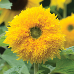 Sunflower 'Sunshot Golds Mixed' F1 Hybrid