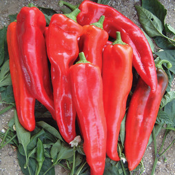 Sweet Pepper 'Thor' F1 Hybrid