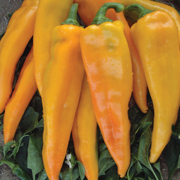 Sweet Pepper 'Astor' F1 Hybrid