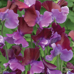 Sweet Pea 'Purple Pimpernel'