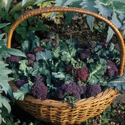 Broccoli 'Red Arrow' (Purple Sprouting)