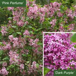 Lilac 'Bloomerang' Duo