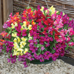Antirrhinum 'Candy Showers'