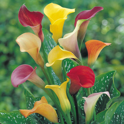 Arum Lily 'Spectrum Mixed'