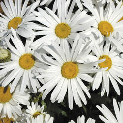 Shasta Daisy 'White Knight'