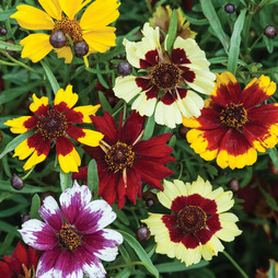 Coreopsis 'Incredible Mixed'