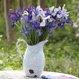 Iris 'Pretty in Blue'