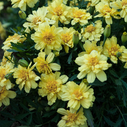 Marigold 'Lemon Zest'