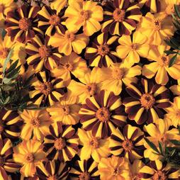 Marigold 'Jesters Mix™' F1 Hybrid
