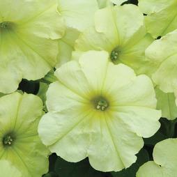 Petunia 'Lime Green'