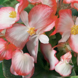 Begonia 'Volumia Rose Bicolour'