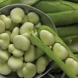 Broad Bean 'Jubilee Hysor'