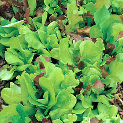 Salad Leaves Mixture 'Misticanza D'Insalate' - Vita Sementi® Italian Seeds