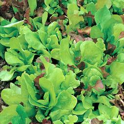 Salad Leaves Mixture 'Misticanza D'Insalate' - Vita Sementi® Italian Seeds
